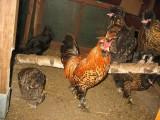 Jaja lęgowe, koguty, kury, chabo, silki, pawłowskie, czubatki, seramy