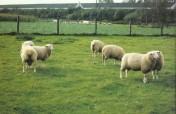 Sprzedam owce rasy Pon