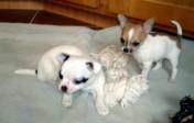 Feine Mini Chihuahua Welpen zu verkaufen
