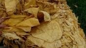 tytoń, liście tytoniu każda ilość, producent