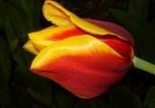 Cebulki kwiatowe- plantacja ekologiczna