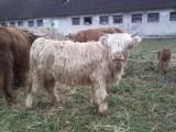 Highland Cattle szkockie jałówki byki cielaki