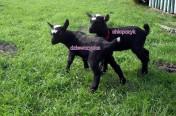 Kozy/kózka i koziołek miniaturowe.