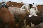 Cielęta Mięsne w Sprzedaży