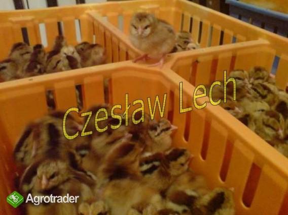 Kurczęta odchowane - zdjęcie 2