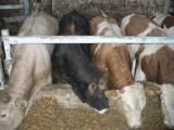 Mięsne byczki opasowe