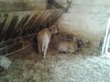 młode owieczki