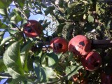 Jabłka z napisami na Walentynki i Dzień Kobiet
