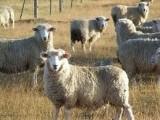 owce kamienieckie