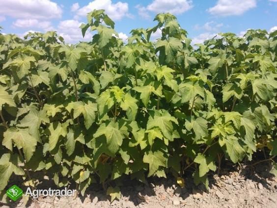 Sprzedam kwalifikowane sadzonki czarnej porzeczki - zdjęcie 1