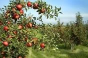 Sprzedam Jabłka PRZEMYSŁOWE