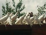 Sprzedam tanio gołębie ozdobne