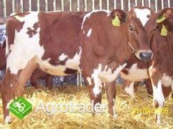 Jałówki mleczne- Duńska czerwona - zdjęcie 3