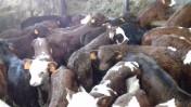 Sprzedam Byczki i Cielęta mięsne