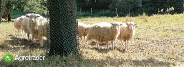Świniarka - rasa zachowawcza  - 1,5 roczne maciorki - zdjęcie 2