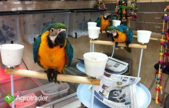 Niebieskie i złote papugi ara przygotowane - zdjęcie 2