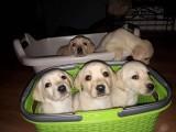 Labrador Retriever śliczne szczeniaki z metrykami