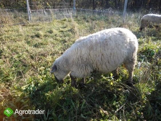Barany i owca czarnogłówki na sprzedaż - zdjęcie 7