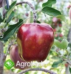Szkółka Drzew Owocowych - zdjęcie 4