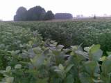 Sadzonki aronii, porzeczki czarnej i czerwonej