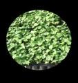 ślazowiec energetyczny nasiona sadzonki sprzedam