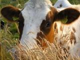 Ukraina. Stada krow, owiec, koz 4 zl/kg. Farma mleczna, przetwornia