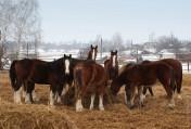 Ukraina. Konie, zwierzeta hodowlane, ogiery, klacze,siwe rysaki 900 zl