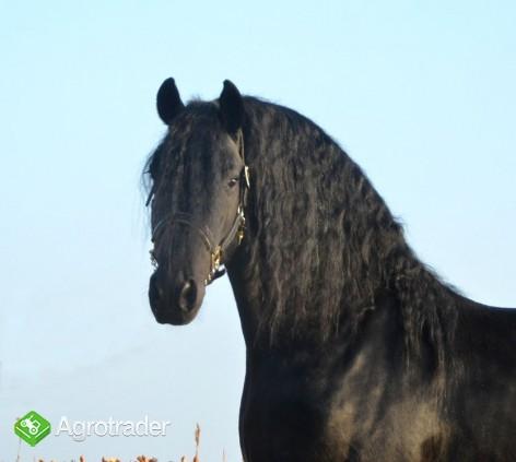 Czarny piękny koń fryzyjski klacz na sprzedaż - zdjęcie 1