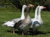 Kaczki, kaczogęsi i gęsi Ferma Drobiu Machowa