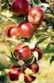 Zdrowe i smaczne Jabłka z dostawą!