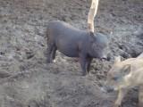 wietnamodziki-swiniodziki
