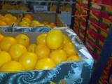 Pomarańcze Washington (w Polsce)