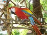 zóltoskrzydla ara i innych gatunków papug ara na s