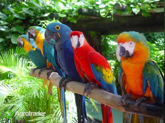 Papugi ara na sprzedaż - zdjęcie 1